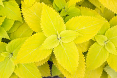 Yellow Coleus leaves (Painted nettle,Flame nettle ) Stock Images