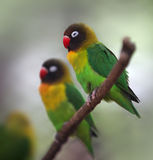 Yellow-collared Lovebird Stock Photo
