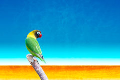 Yellow-collared lovebird (Agapornis personatus) Royalty Free Stock Photography