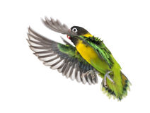 Yellow-collared lovebird flying, isolated Royalty Free Stock Photo
