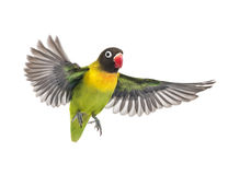 Yellow-collared lovebird flying, isolated. On white Royalty Free Stock Photo