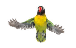 Yellow-collared lovebird flying, isolated Royalty Free Stock Image