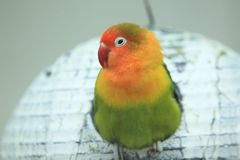Yellow-collared lovebird Royalty Free Stock Images