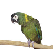 Yellow Collared Macaw Parrot, isolated Royalty Free Stock Image