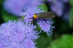 Yellow-collared Scape Moth - Cisseps fulvicollis. Yellow-collared Scape Moth collecting nectar from a purple flower. Rosetta McClain Gardens, Toronto, Ontario stock images