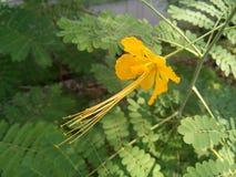 Yellow color barbados pride tree. royalty free stock photos