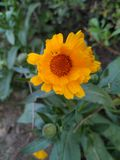 Yellow color beautiful flower with orange brown color in centre stock photos