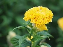 Yellow color Cockscomb flowers Name of Celosia cristata The flowers are small in size but will stick together into the same. Closeup yellow color Cockscomb royalty free stock photo