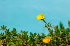 Yellow color of Common Purslane, Verdolaga, Pigweed, Little Hogw. Eed or Pusley on blue background in morning Royalty Free Stock Photography