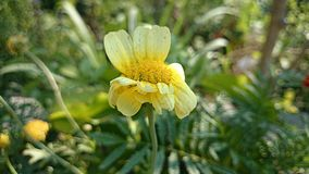 Yellow color flower Royalty Free Stock Images