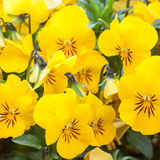 Yellow color pansies Royalty Free Stock Image