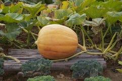 Yellow color pumpkin Stock Photography