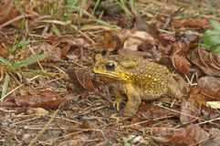 Yellow color toad Royalty Free Stock Image