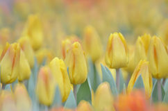 Yellow color with tulip flower field Stock Images