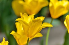 Yellow color tulips close-up. Royalty Free Stock Photos