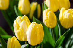 Yellow color tulips. Royalty Free Stock Photo