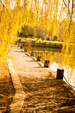 Yellow color willow tree branches with leaves in  Autumn Stock Photo