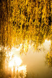 Yellow color willow tree branches with leaves in  Autumn Stock Photography
