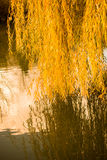 Yellow color willow tree branches with leaves in  Autumn Royalty Free Stock Images