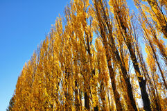 Yellow colored autumn aspen line. Road lined with poplar trees Stock Photos