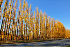 Yellow colored autumn aspen line. Road lined with poplar trees stock image