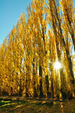Yellow colored autumn aspen line. Road lined with poplar trees Royalty Free Stock Image