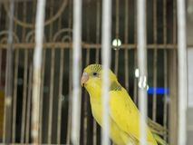 Yellow-colored budgerigar in the cage that appears among the cage tails stock image