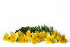 Yellow Colored Daffodil Flowers. Isolated on White Background Royalty Free Stock Images