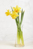 Yellow Colored Daffodil Flowers Stock Images