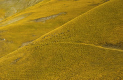 Yellow colored dry hill with sheep. Royalty Free Stock Images