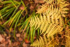 Yellow colored fern contrasting on the blurred rust and brown leaves in the background. Autumn in a forest stock photo