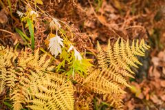 Yellow colored fern contrasting on the blurred rust and brown leaves in the background. Autumn in a forest royalty free stock image