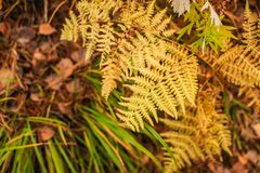Yellow colored fern contrasting on the blurred rust and brown leaves in the background. Autumn in a forest royalty free stock photos