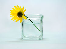 A yellow colored flower in a vase. A yellow daisy flower in a blue green vase with water with a blue isolated background Stock Photos