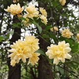 Lady Banks Rose in Bloom at a Southern USA Garden. Yellow colored Lady Banks climbing rose in full bloom in a Southern USA garden. It is a classic wild rambler royalty free stock photo