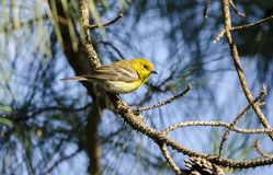 Pine Warbler bird in Loblolly Pine Tree, Georgia USA royalty free stock photos