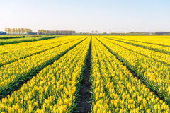 Yellow colored tulip flowers in long converging flower beds at a. Specialized Dutch bulb nursery. It is early in the morning of a sunny day in the beginning of Royalty Free Stock Images