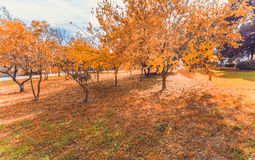 Yellow and colorful leaves autumn colors in the park outdoor with a road and sunshine Royalty Free Stock Images