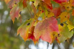 Yellow and colorful leaves in fall on a branch Royalty Free Stock Photos