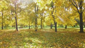 Yellow colorful maple leaves on trees and foliage on ground in park in autumn at sunny day. Sunlight is going through leaves stock video footage