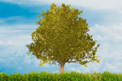 yellow colorful oak tree with grass and blue sky Stock Image