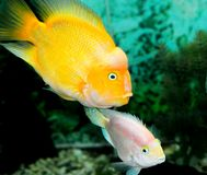 Yellow colour fish Stock Image