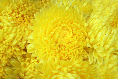 Yellow colour flower Stock Image
