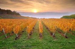 Yellow coloured vineyard in early autumn morning Stock Photos
