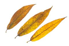 Yellow colouring of a willow leaves in autumn Royalty Free Stock Photo