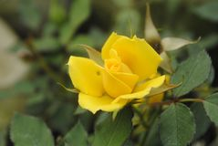 Yellow colours rose royalty free stock photos