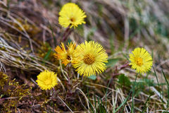 Yellow coltsfoot. Blooming in forest, spring time Stock Image