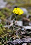 Yellow coltsfoot in early spring Royalty Free Stock Photo