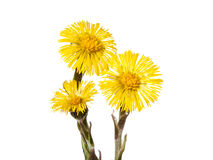 Yellow coltsfoot flower Royalty Free Stock Photos