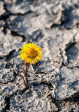 Yellow coltsfoot flower royalty free stock images